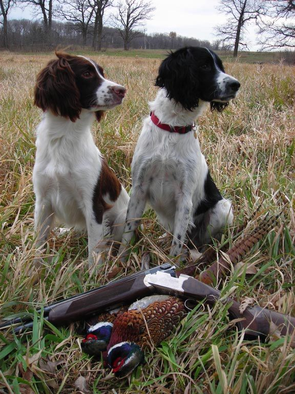 Field Bred English Springer Spaniels My Husband And I Enjoyed Many Hrs Of Hunting With Both Our Spaniels Hunting Dogs Bird Dogs Springer Spaniel Puppies