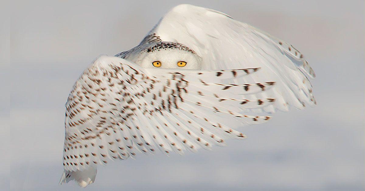 Image une chouette chouettes chouette blanche harfang des neiges et chouette - Image de chouette gratuite ...