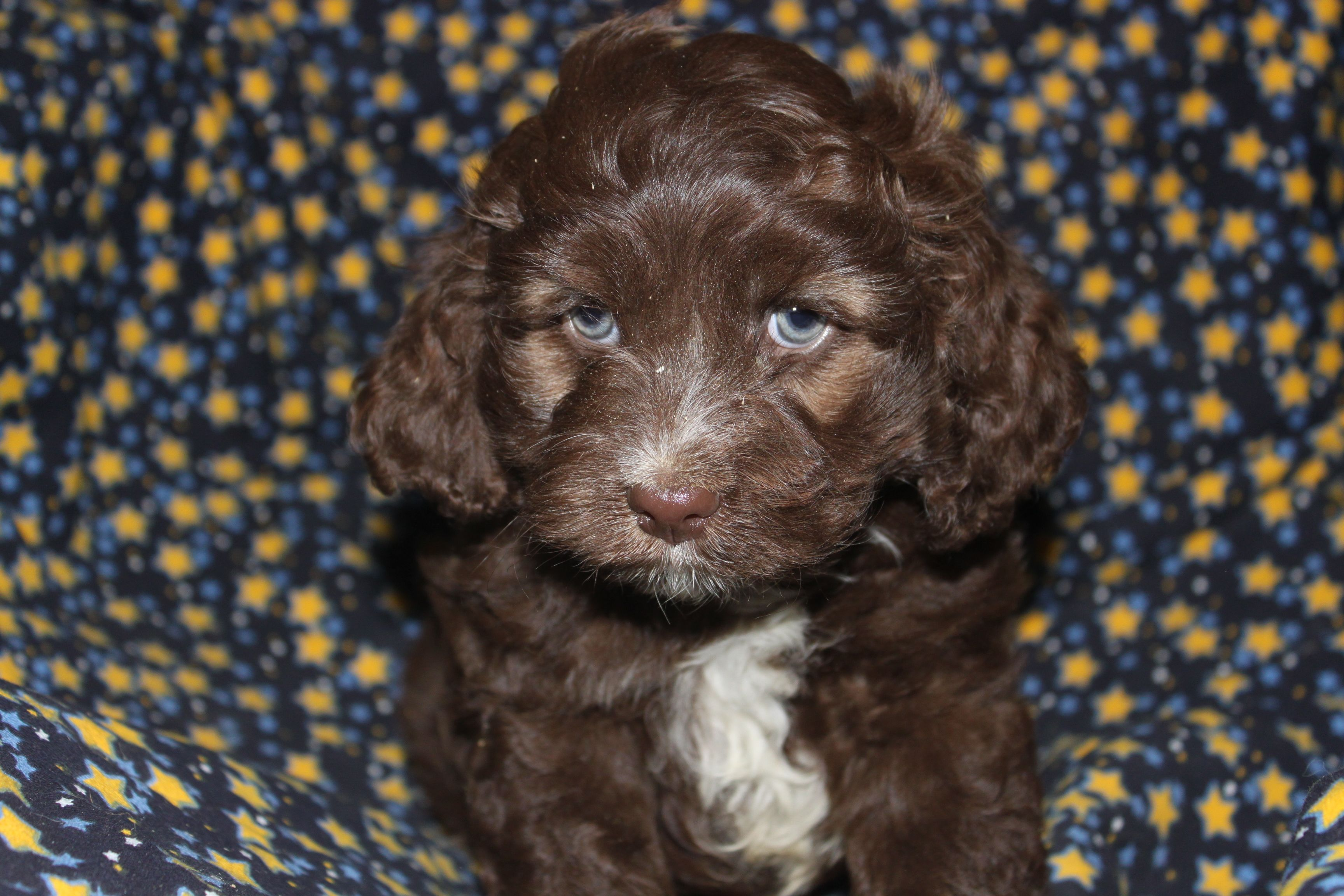 cockapoo puppies for sale Google Search Puppies