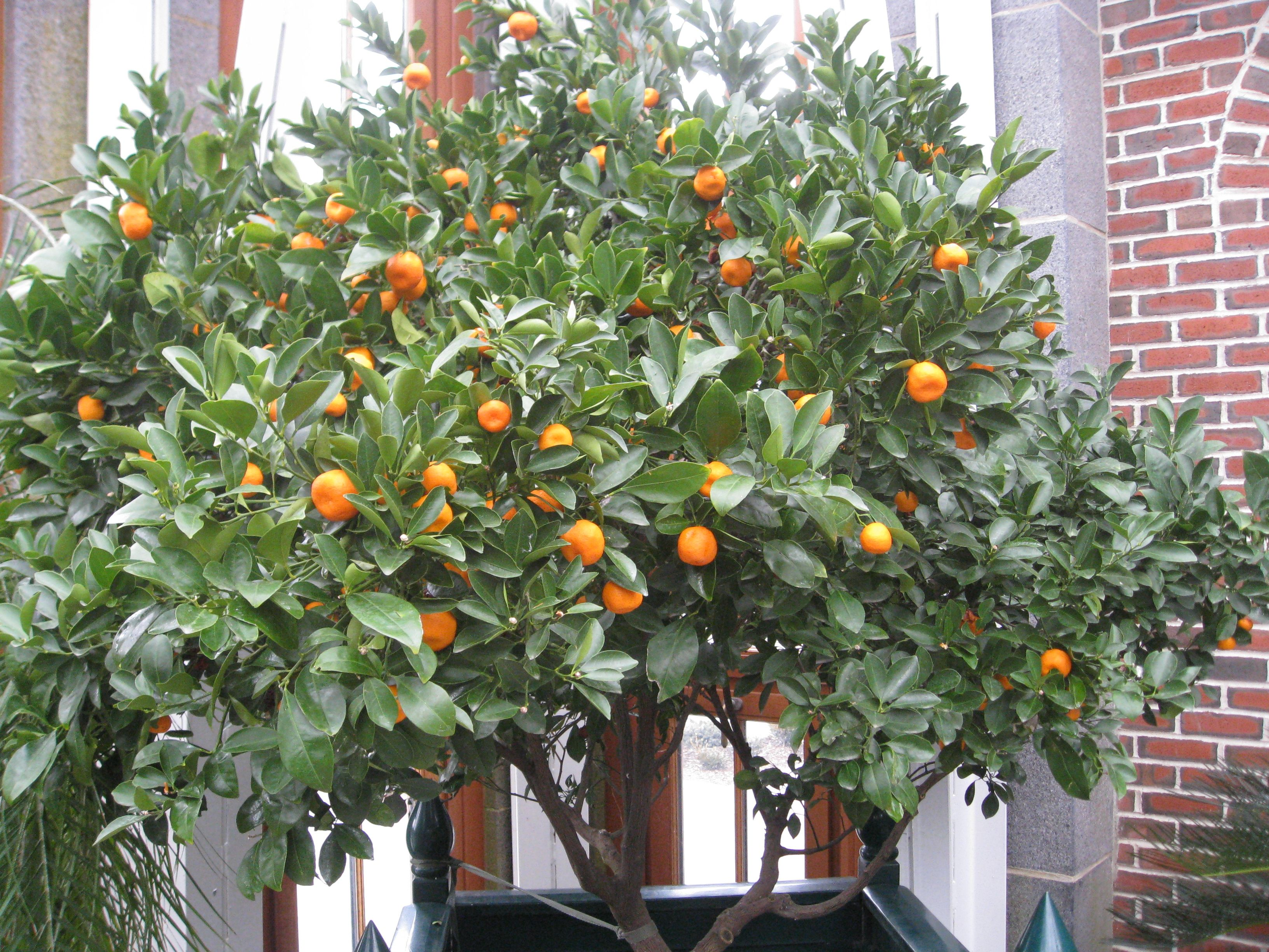 I Would Love A Dwarf Navel Orange Tree! Every Where I Look Restricts  Shipping To
