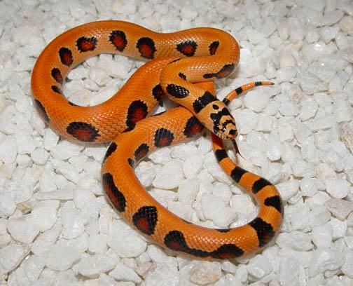 THAYERI KINGSNAKE X PUEBLAN MILKSNAKE X CORSNAKE X BANANA - California king snake morphs