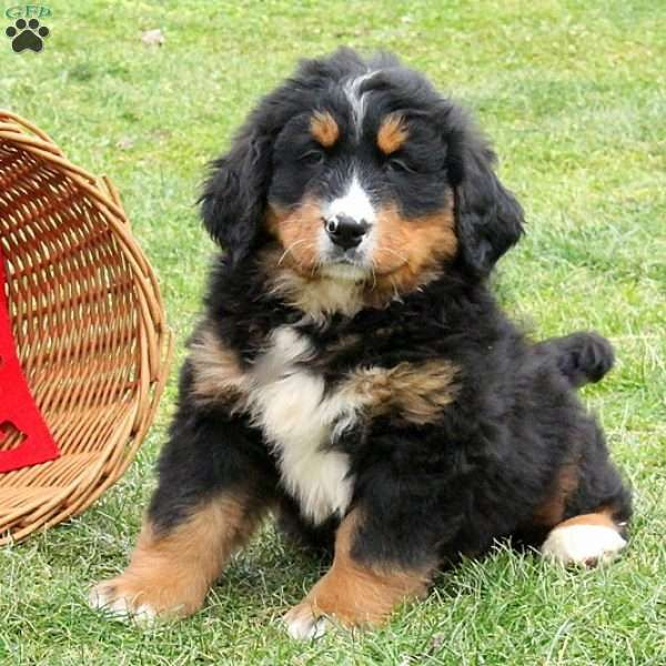 Art Bernese Mountain Dog Puppy For Sale In Pennsylvania Bernese Mountain Dog Puppy Puppies Bernese Mountain Dog