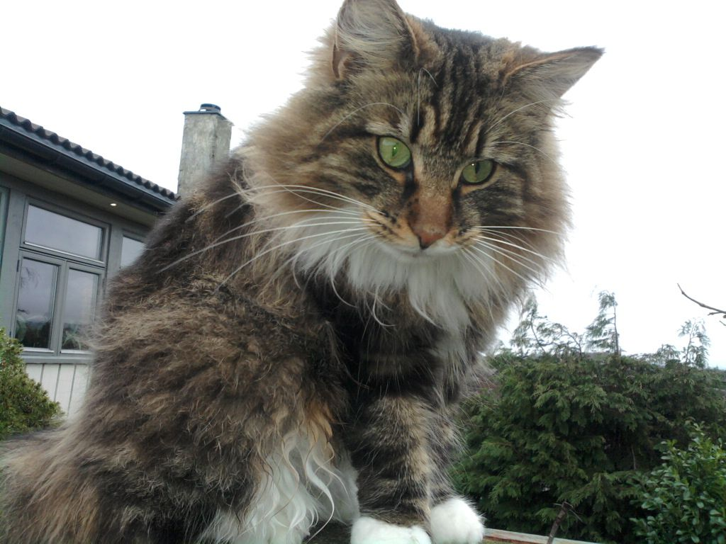 Norwegian Forest Cat Is A Breed Of Domestic Cat Originating In Northern Europe This Natural Breed Norwegian Forest Cat Norwegian Cat Norwegian Forest Kittens