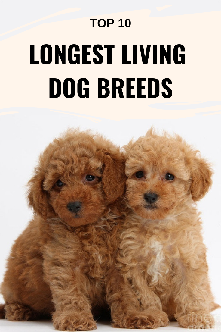Top 10 Longest Living Dog Breeds Which Dogs Live The Longest Dog Breeds Little Miniature Dog Breeds Top Dog Breeds