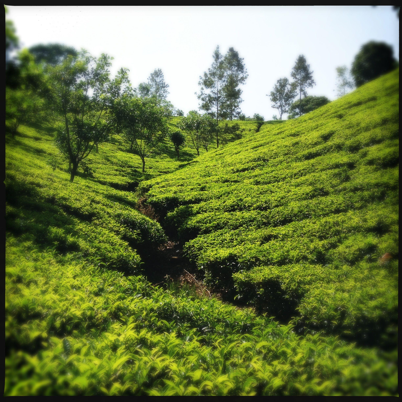Somerset Tea Estate, (Dilmah) Ceylon
