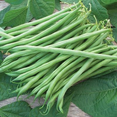 Organically Grown Heirloom Bean 100 Seeds Landreth String-less Bush Bean Great Flavor !
