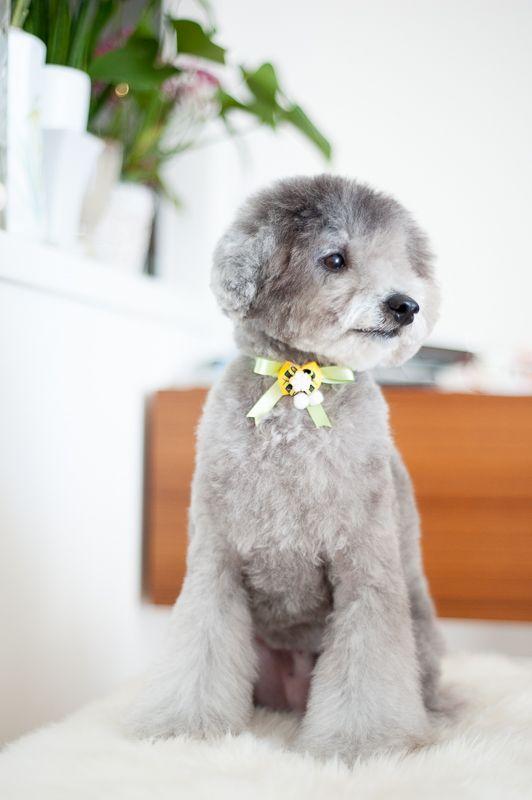 #toypoodle #silverpoodle #haircut