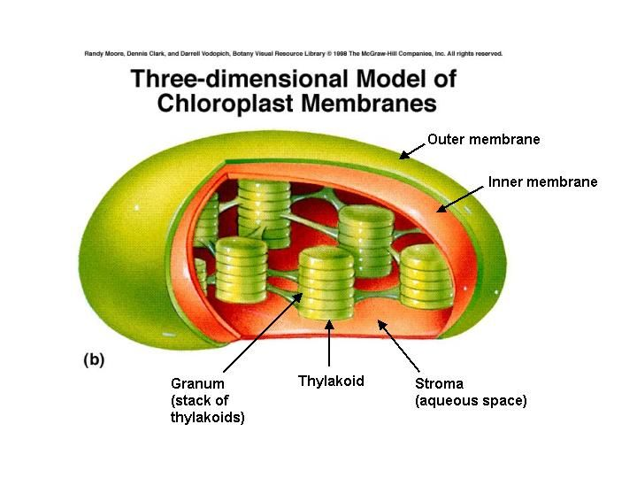 13++ Are chloroplasts found in animal cells images