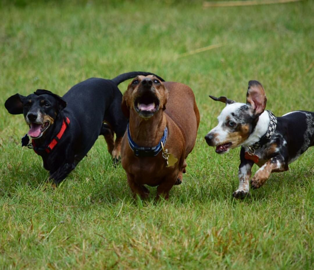 Pin On Roxie Team Hotdog Dachshund Racing Champion And Her Teammates