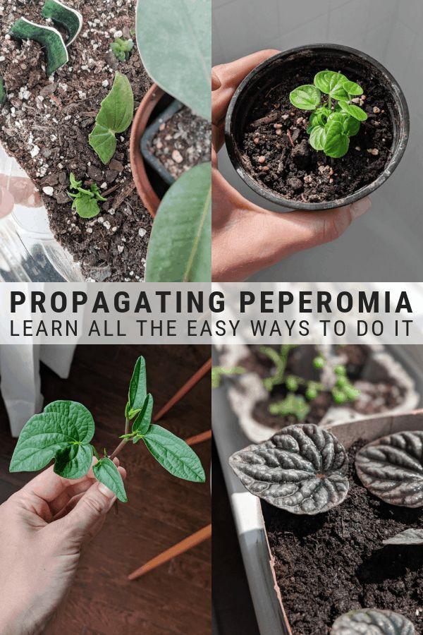 Photo of How to Propagate Peperomia: Easy Peperomia Propagation Methods