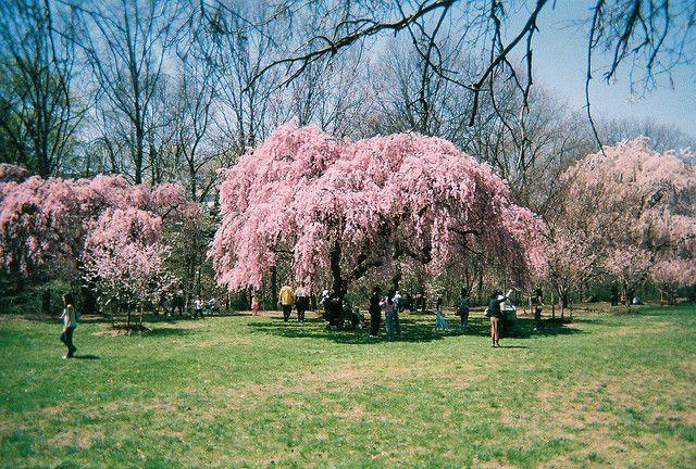 Cherry Blossom Grove Weeping Cherry Tree Cherry Blossom Cherry Tree