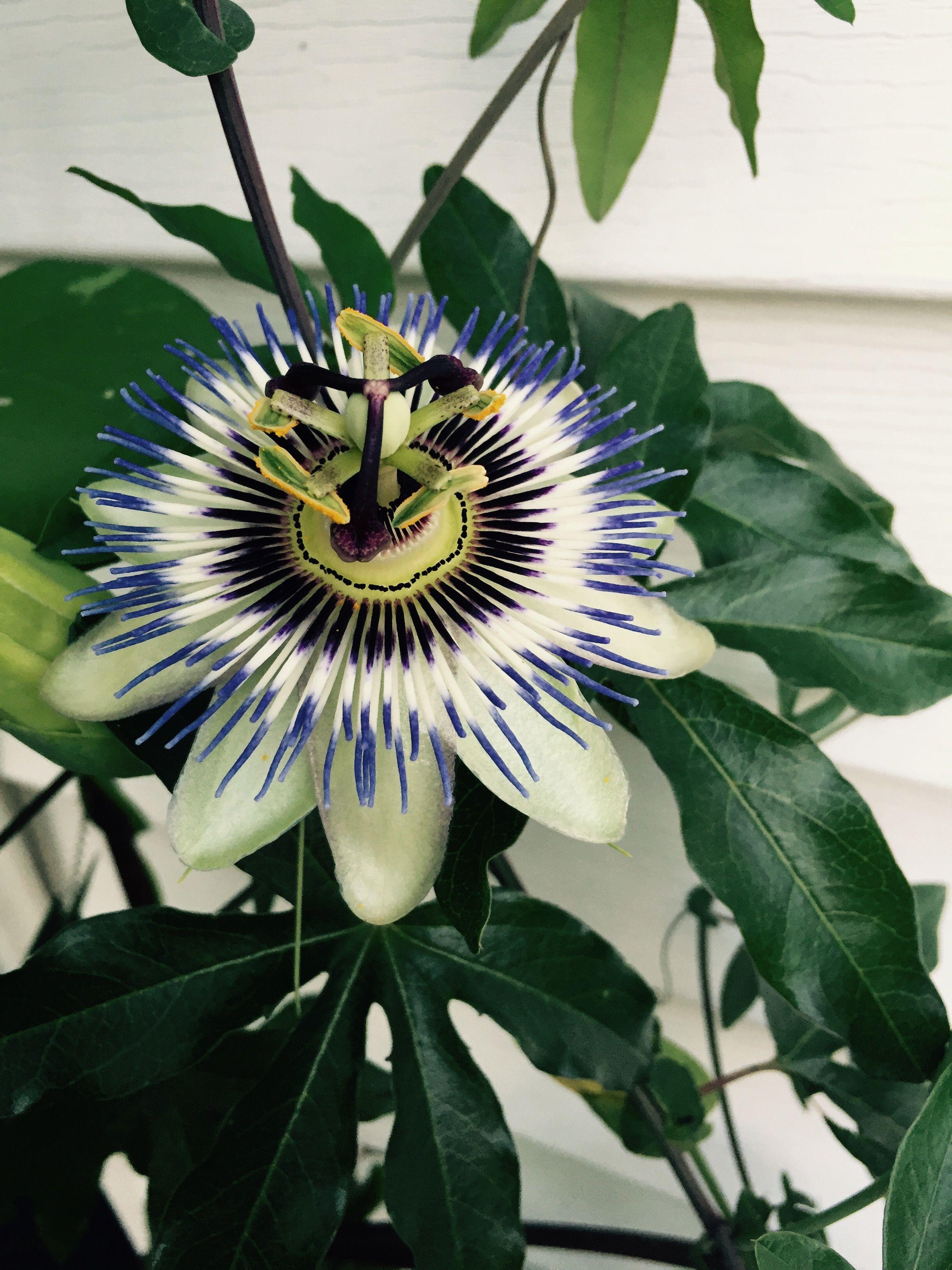 Loving My Passion Flower Blooms In My Garden Passion Flower Garden Bloom