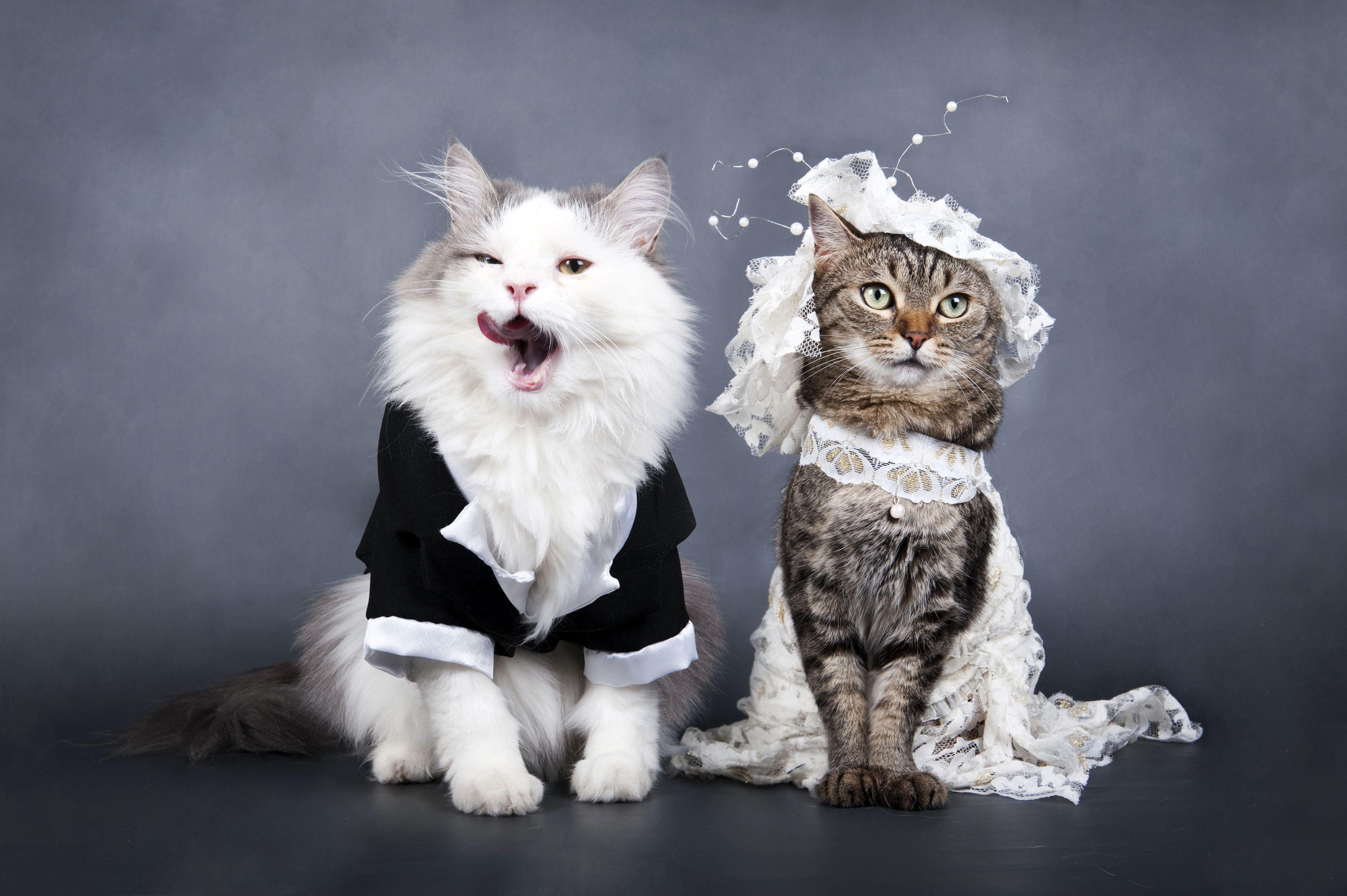 картинки с кошками о свадьбе новогоднее
