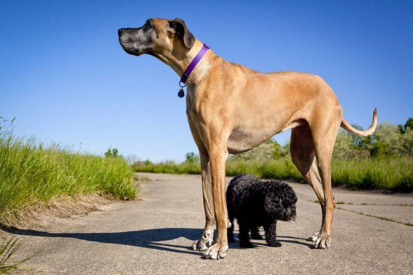 9 Of The World S Largest Dog Breeds Large Dog Breeds Great Dane