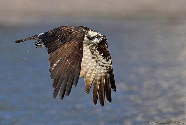 Oeprey in flight | David Hemmings
