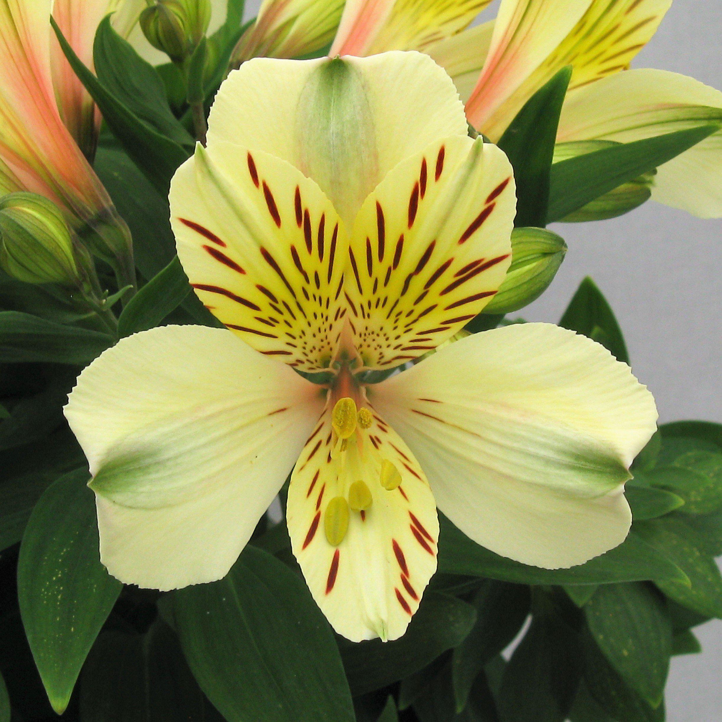 Allium Ampeloprasum Alstroemeria Easy To Grow Bulbs Lily Plants