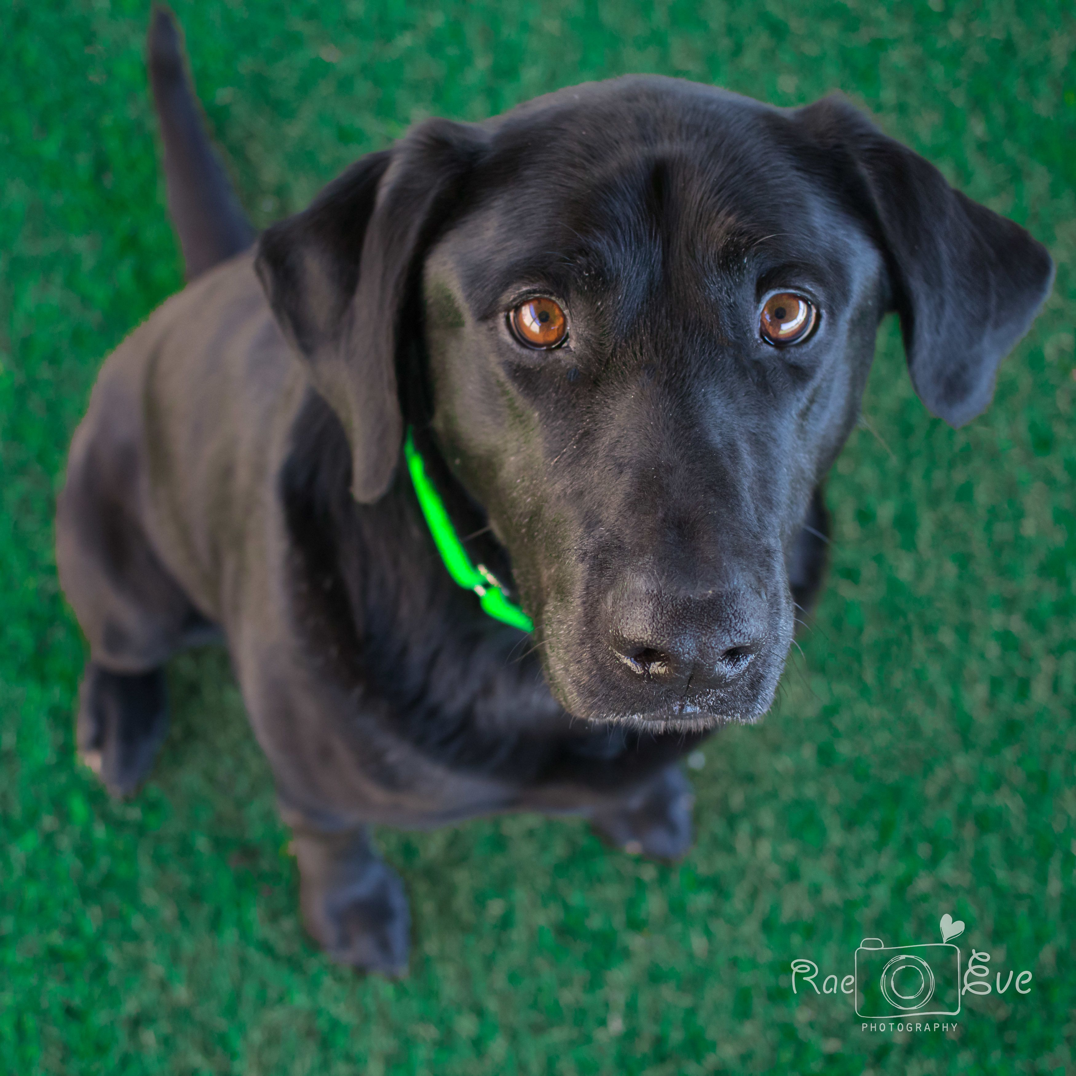 Adopt Hank on Rescue Dogs Rescue dogs, Dogs, Retriever dog
