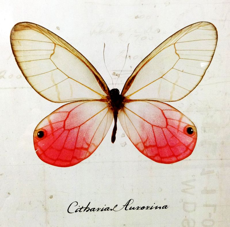 Butterfly - Cithaerias Aurorina