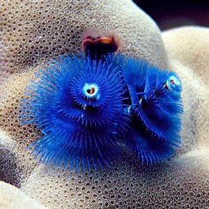 The Christmas Tree Worm Lanta S Coral Reefs Beautiful Sea Creatures Ocean Creatures Saltwater Fish Tanks
