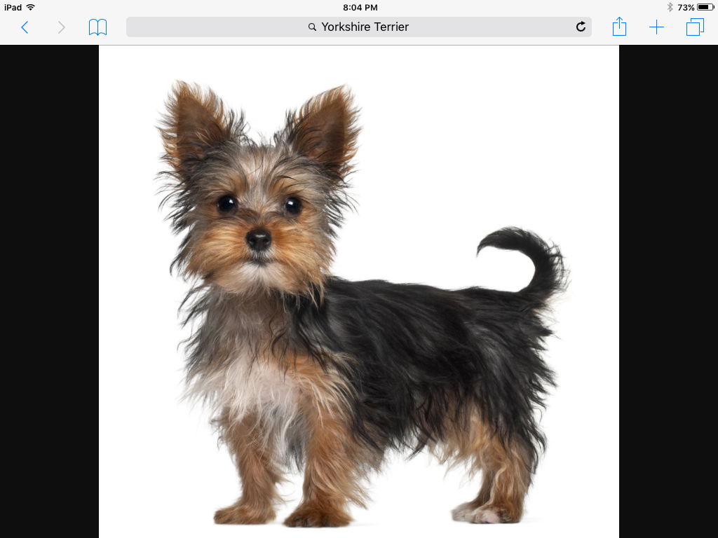 Pin By January Lee On D O G S Yorkshire Terrier Puppies Yorkshire Terrier Training Yorkshire Terrier Dog
