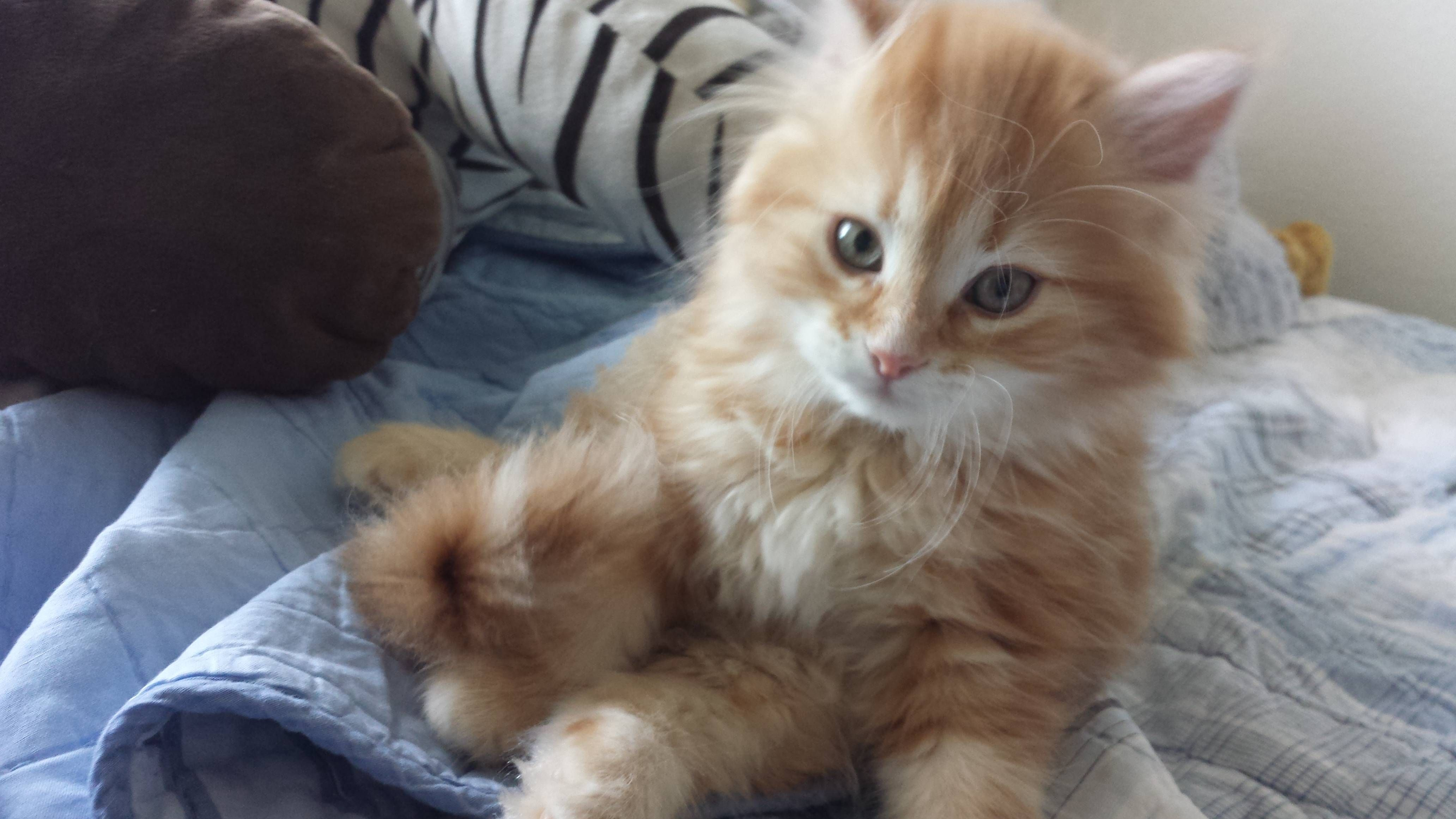 Meet Gideon Our 10 Week Old Siberian Startled Cat Cats Funny Cat Pictures