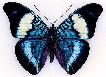 Black And Blue Butterfly Black And Blue Butterfly La Mejor