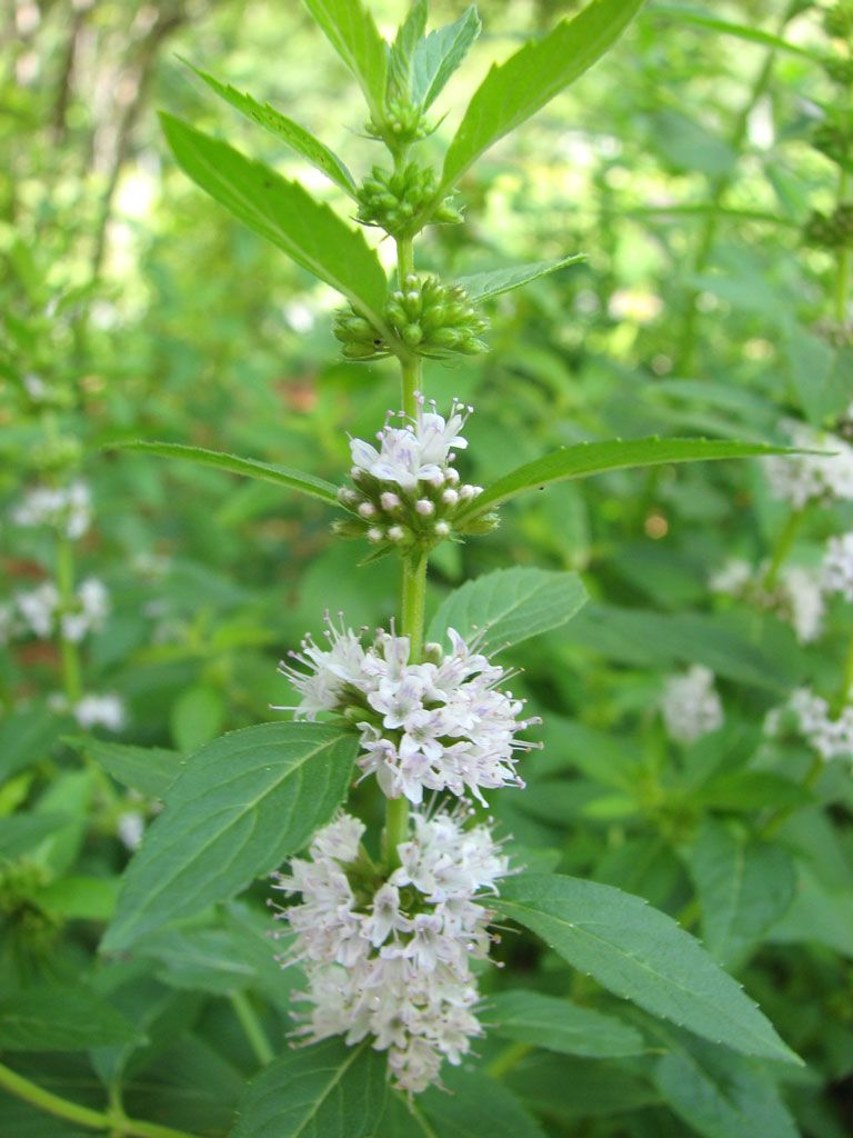 All Parts Of The Plant Are Very Aromatic The Small Pink To Purple Flowers Appear Along The Stem And Are Almost Covered By Mint Flowers Mint Seeds Moon Nursery
