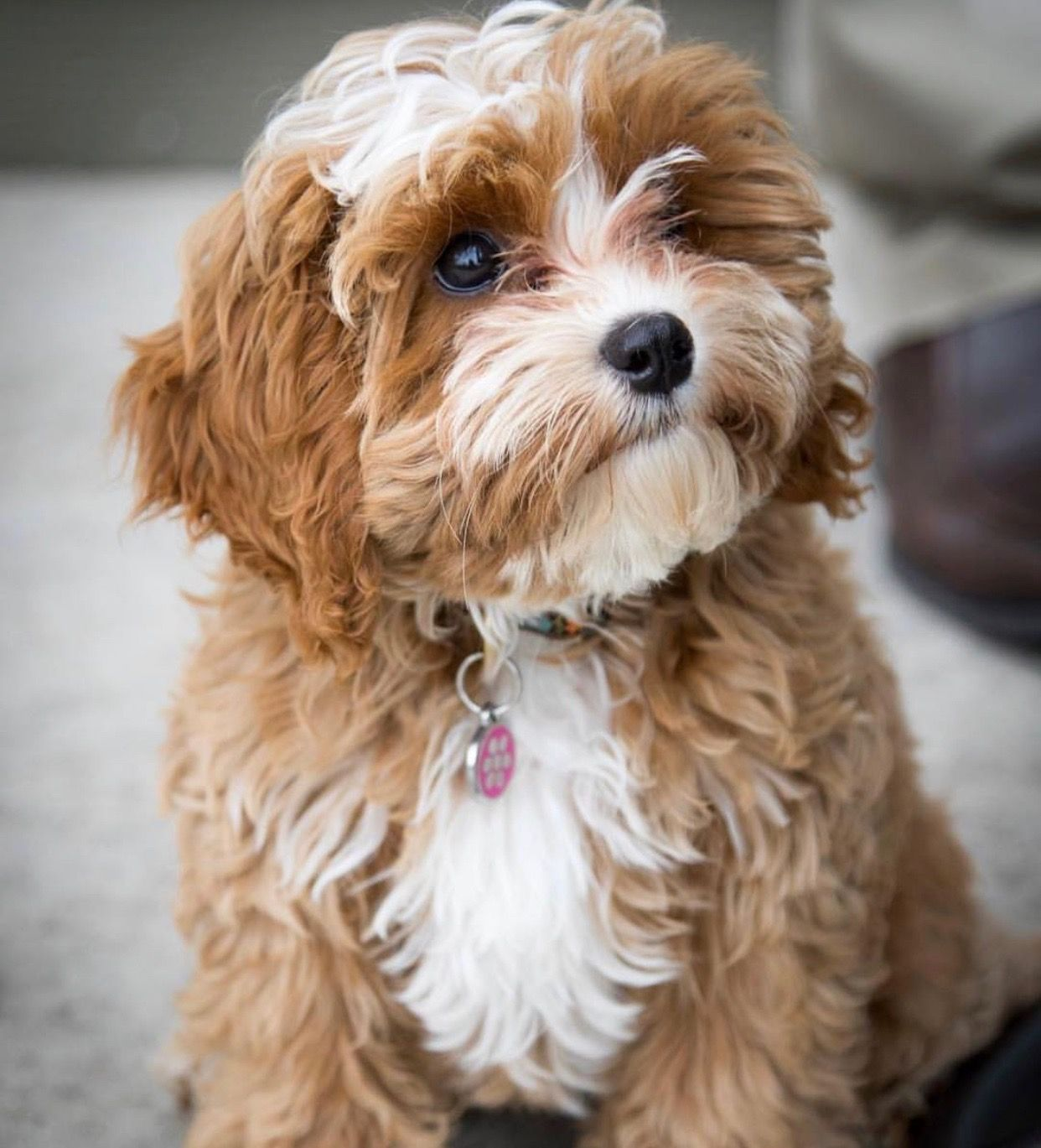 Cavapoo Puppies A Complete Guide For This Breed Cavapoo Cavapoo Puppies Best Dog Food