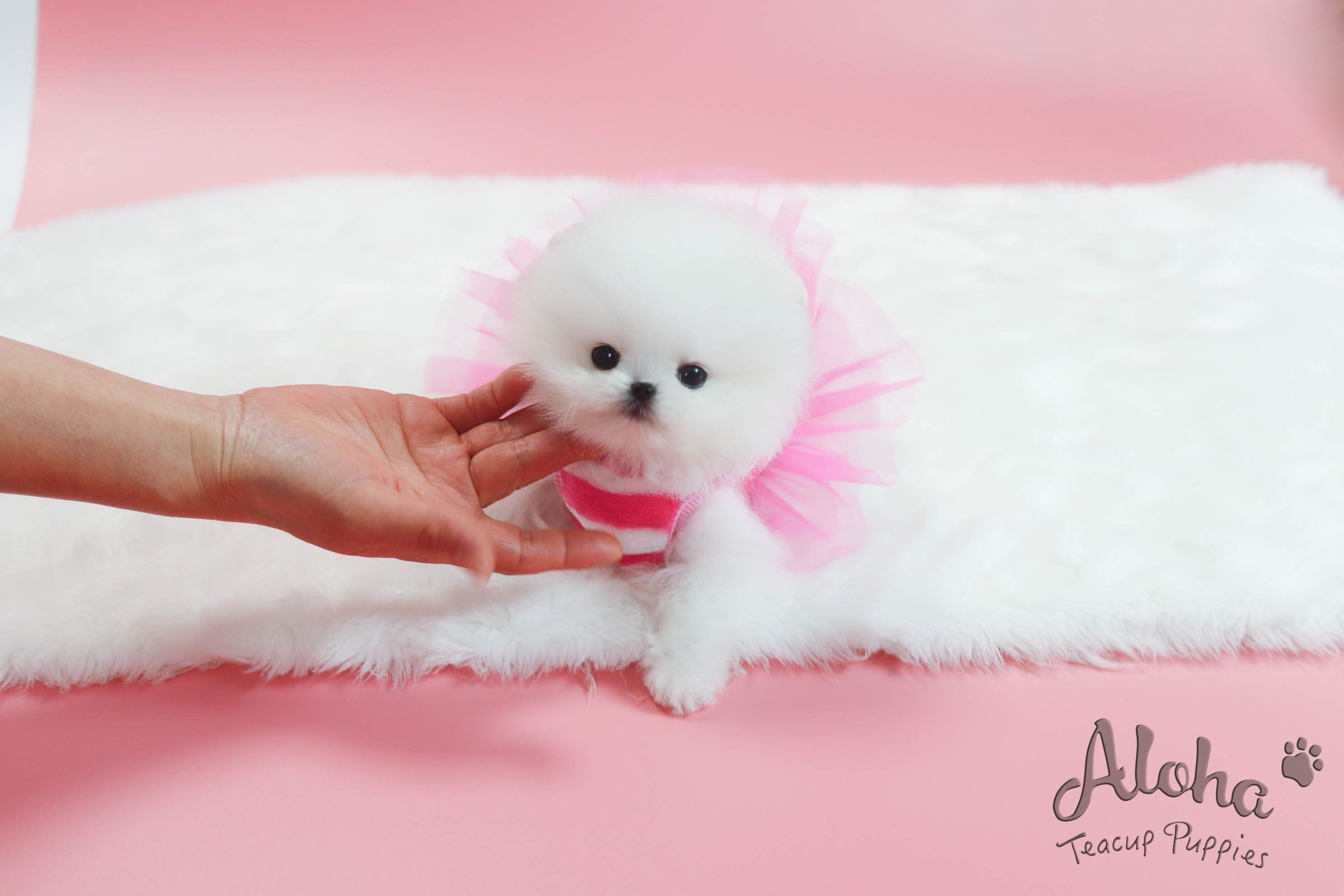 Teacup Pomeranian Is Only Here Https Www Alohateacuppuppies