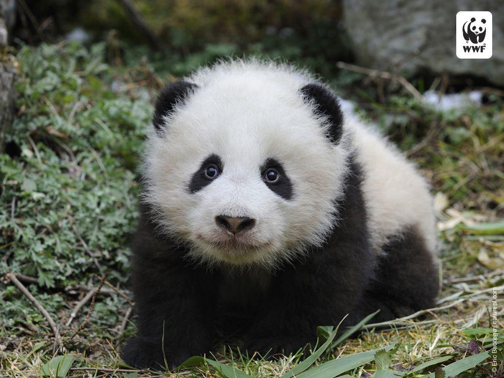 baby pandas | ... bit of a wwf cliche the cute cuddly baby ...