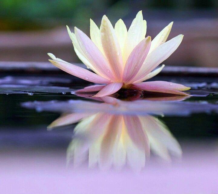 Flor reflexo