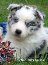 Blue Merle Female Rough Coated Border Collie Puppy Border