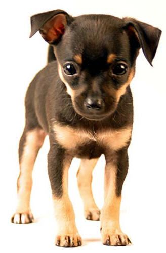 Chihuahua Peanut Looked Like This When She Was A Puppy Now