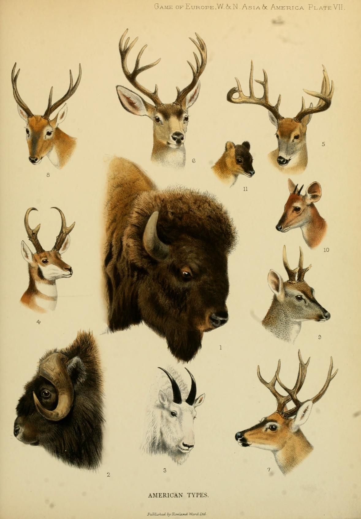 American Types. The great and small game of Europe, western & northern Asia  and America London,R. Ward, limi…   Scientific illustration, Animal art,  Animal posters