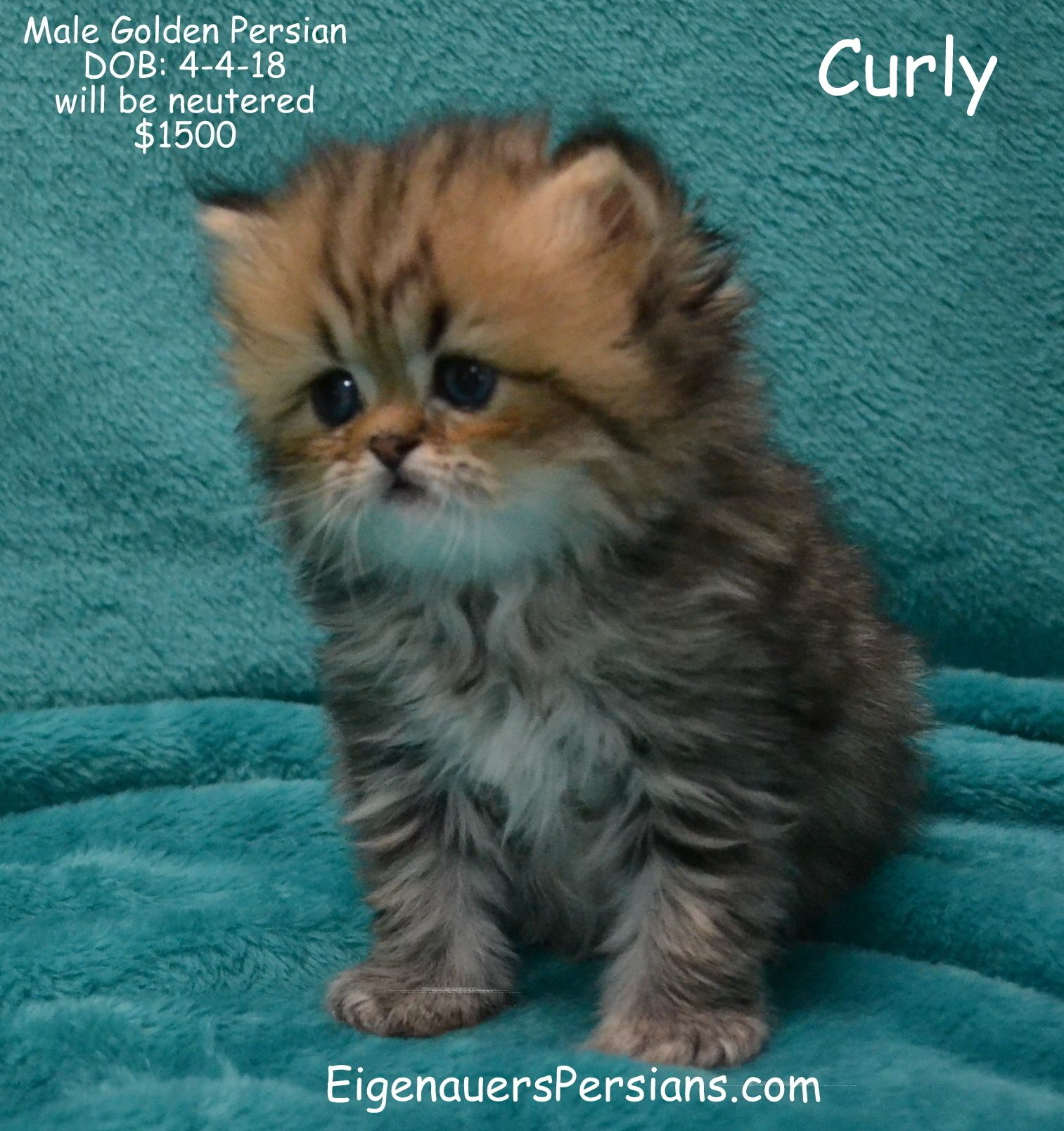 Pin On Persian Kittens For Sale Eigenauerspersians Com
