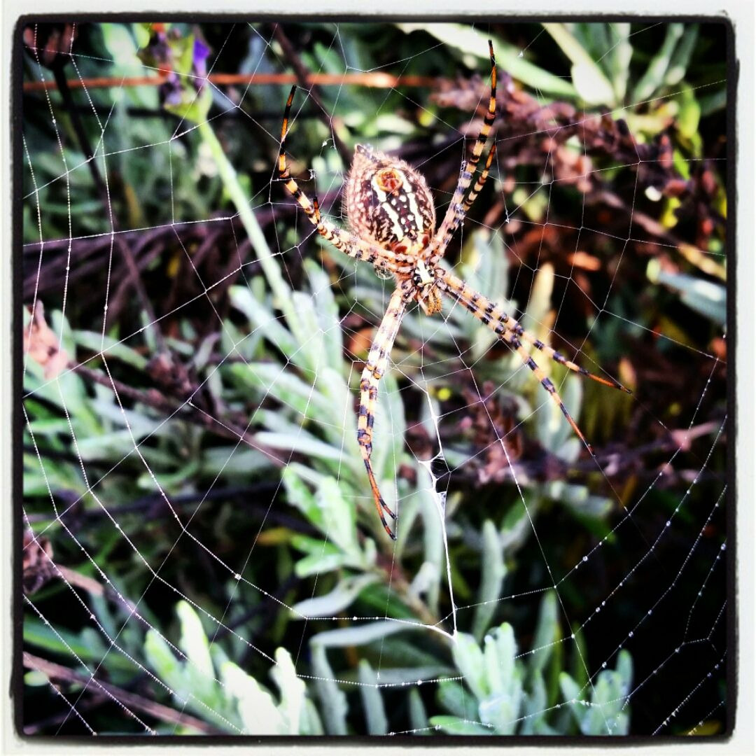 A beautiful and gigantic Garden Spider (Argiope aurantia) continues to take up shop in my lavender.