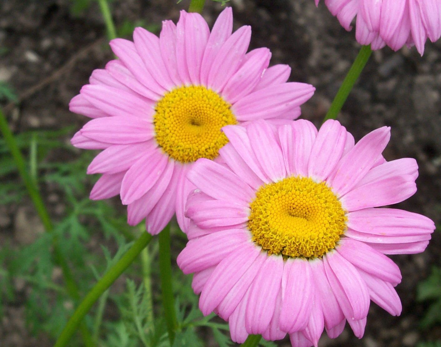 Daisys daisy photo daisy pic daisy image daisys so pretty daisys daisy photo daisy pic daisy image izmirmasajfo