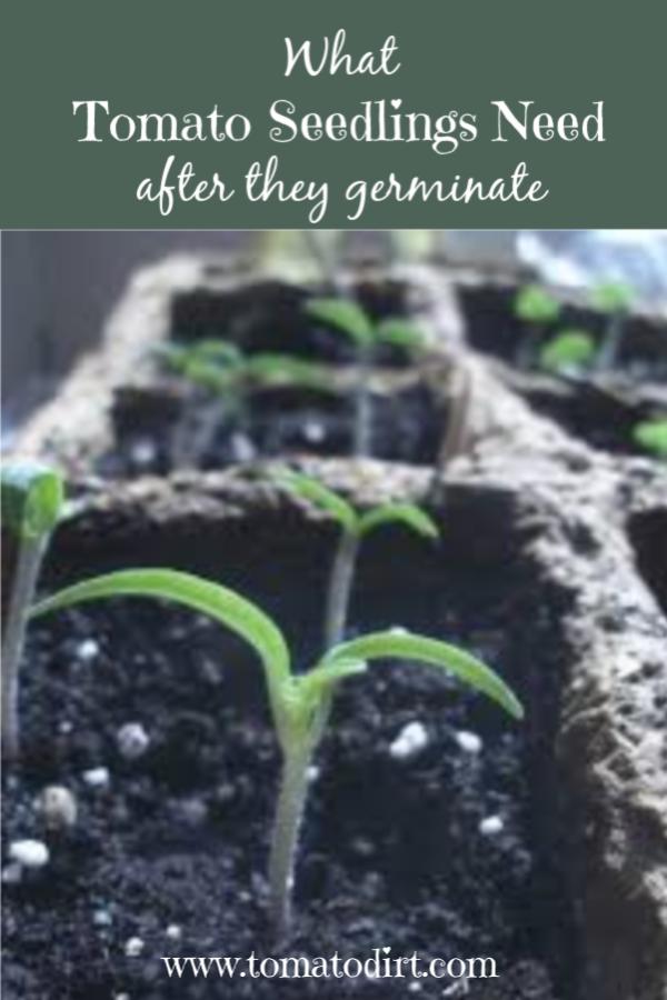 What Tomato Seedlings Need To Grow How To Grow Tomatoes Successfully Tomato Seedlings Growing Tomatoes Tomato Garden