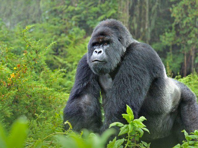 Free Wallpaper Desktop Wallpaper And Free Screensavers Mountain Gorilla Gorilla Gorilla Trekking