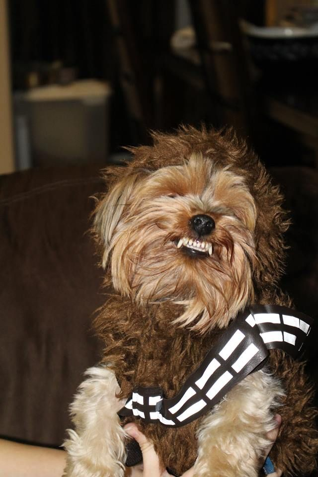 Angry Wookiee Yorkie In Chewbacca Costume Is Upset Chewbacca