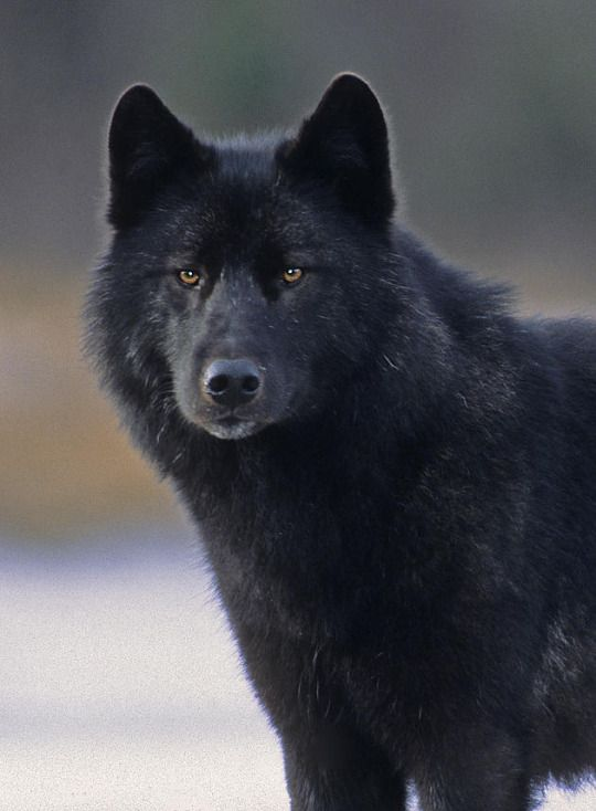 Unnamed Brother 3 Wolf Dog Wolf Call Black Wolf