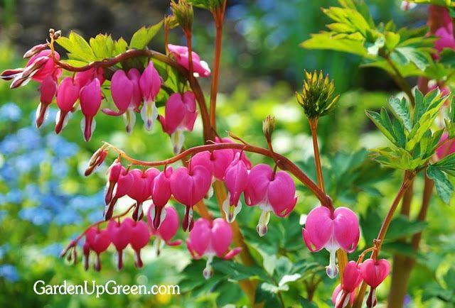 Garden Up Green: Planting Bleeding Hearts