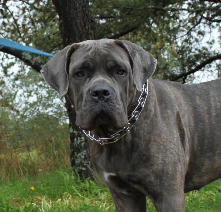 He S So Gorgeous In 2020 Cane Corso Cane Corso Dog British Mastiff