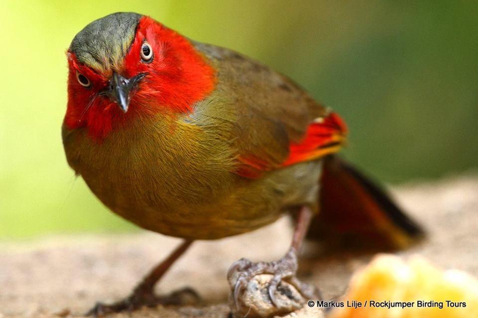Scarlet-faced Liochchla, Myanmar, Thailand, Vietnam, & S China by Markus Lilje