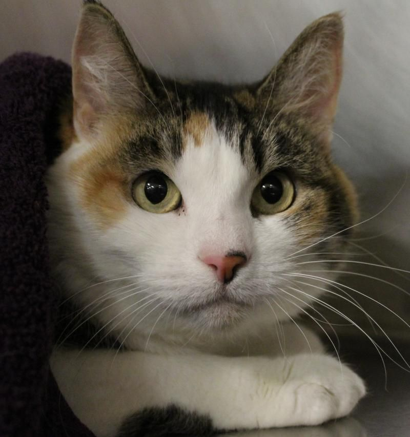 Adopt Angel 36003975 On Cat Adoption Cats And Kittens Cute Animals