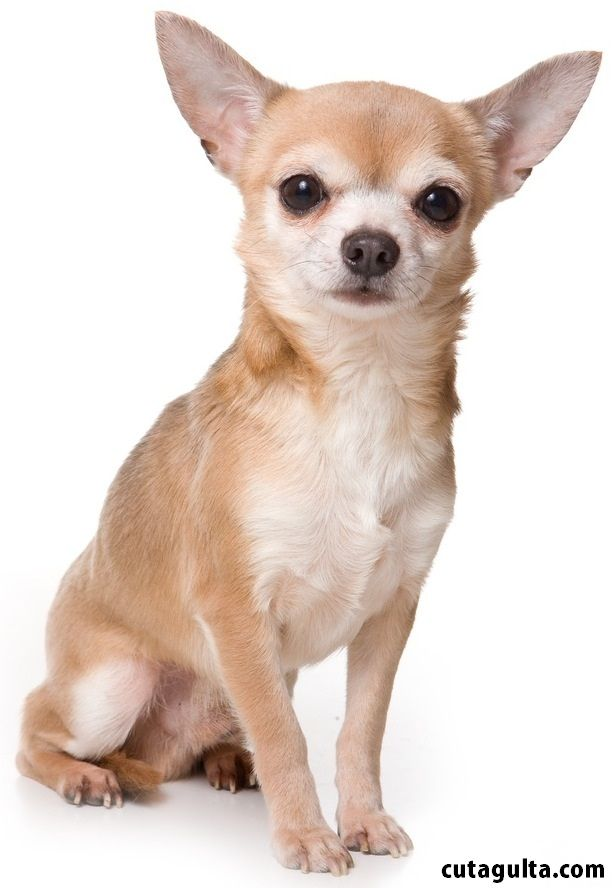 14  Different Types of Chihuahuas Dog Mixes Breeds with Pictures ...