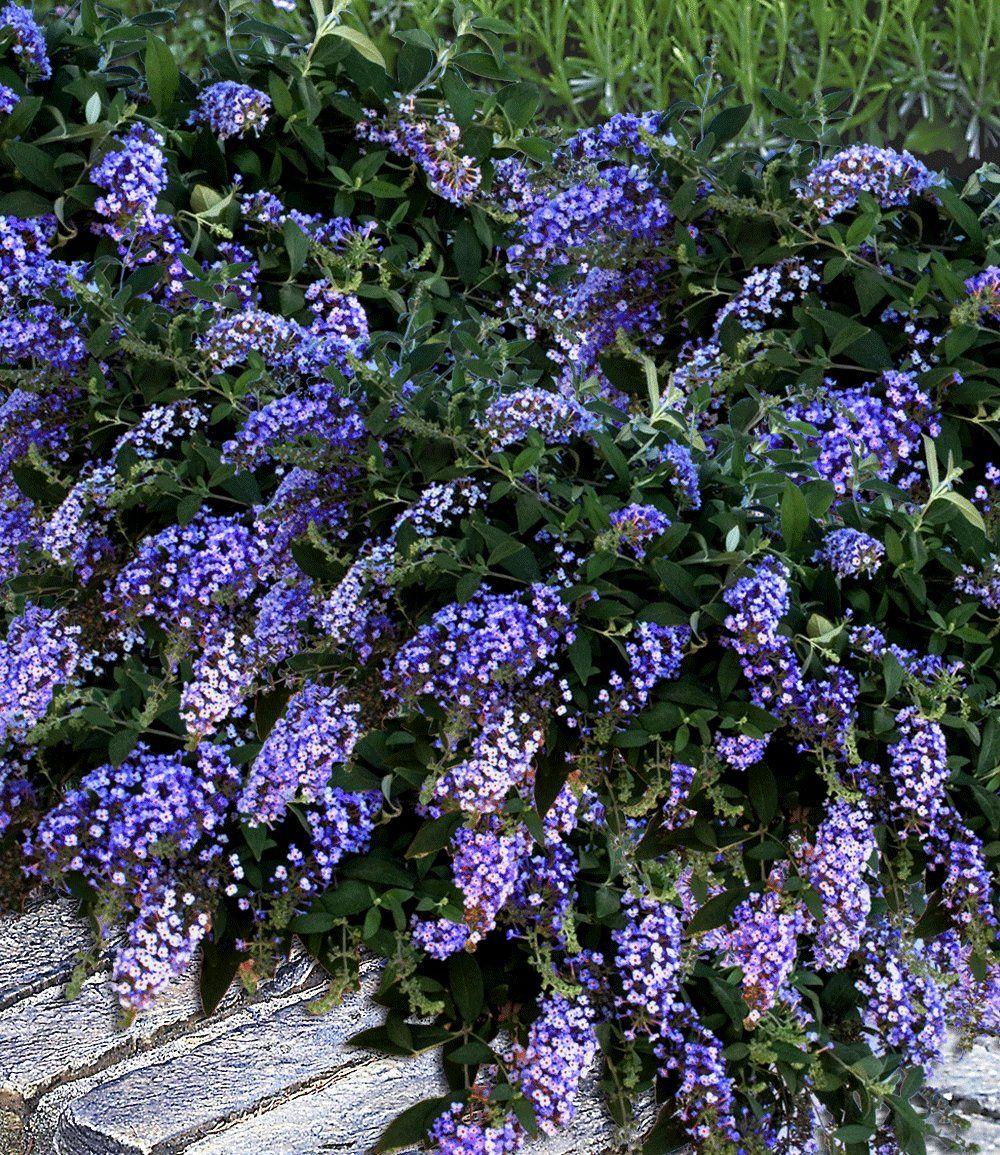Bodendecker-Buddleia 'Dreaming Lavender'