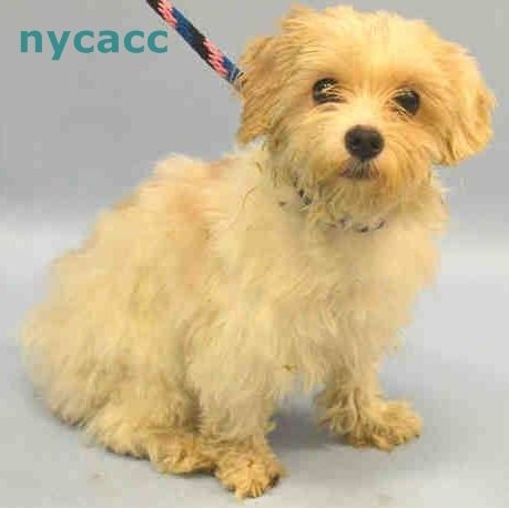 RESCUED❤️❤️❤️!! ~ Animal ID #A1046465   CLOUD! ‒ My Name is CLOUD. I am a Unknown Gender, White Poodle - Toy mix. The shelter thinks I am about 1 year old. I have been at the shelter since August 03, 2015. Animal Care Centers of NYC - Manhattan  326 East 110 Street  New York, NY  https://www.facebook.com/OPCA.Shelter.Network.Alliance/photos/pb.481296865284684.-2207520000.1438849850./860746124006421/?type=3&theater