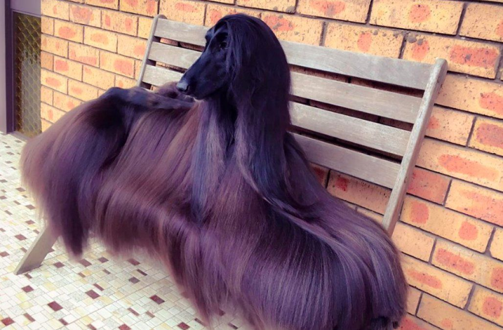 This Afghan Hound Is Destined To Become An International Supermodel Nice Shiny Hair Beautiful Dog Pictures Most Beautiful Dogs