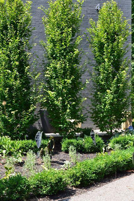Hornbeam carpinum betulus fastigiate   Backyard trees ...